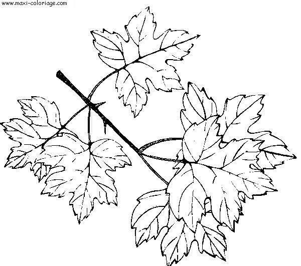 Kleurplaat Fotosynthese Dessin Feuille