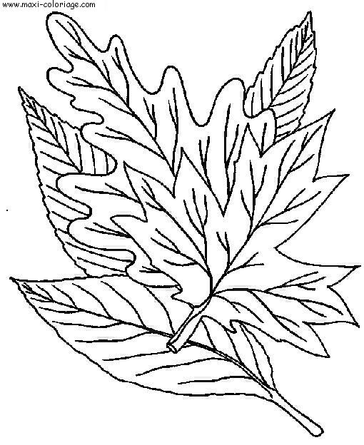 Coloriage feuilles dessin feuilles feuilles coloriage n 5361 - Maxi coloriage ...